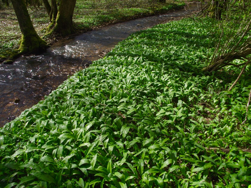A new wild garlic patch discovered